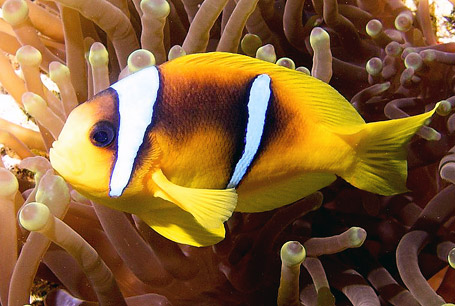 Błazenek dwupręgi, Amphiprion bicinctus, Red Sea clownfish