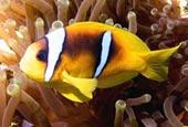 Błazenek dwupręgi, Amphiprion bicinctus, Red Sea clownfish