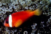 Amfiprion malediwski, Amphiprion nigripes, Blackfinned anemonefish