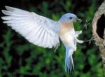 Błękitnik rudogardły, Sialia sialis, Eastern Bluebird