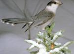 Sójka kanadyjska, Perisoreus canadensis,Gray Jay