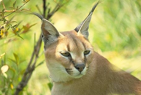Karakal,Lynx caracal,caracal