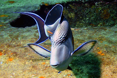 Acanthurus sohal, sohal surgeonfish, Pokolec arabski