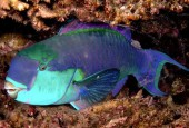 Chlorurus gibbus, Red Sea steephead parrotfish