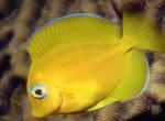 Pokolec turkusowy, Acanthurus coeruleus, Atlantic blue tang surgeonfish