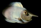 Naso annulatus, whitemargin unicornfish