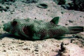 Arothron hispidus, white-spotted puffer
