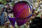 Zebrasoma wielobarwna, Zebrasoma desjardinii, Red Sea sailfin tang