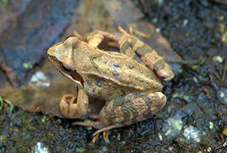 Żaba moczarowa, Rana arvalis, Moor Frog