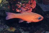 Apogon imberbis, Kardynałek, cardinalfish
