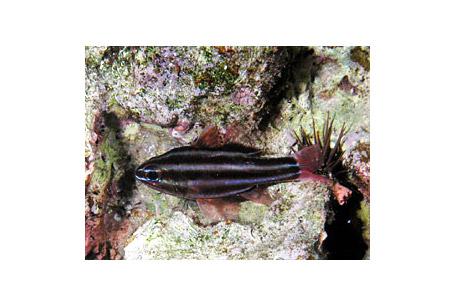 Apogon cookii, Cook\'s cardinalfish