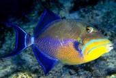 Rogatnica królewska, Balistes vetula, queen triggerfish