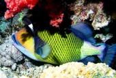 Rogatnica zielonkawa, Balistoides viridescens, titan triggerfish, giant triggerfish