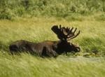 Łoś,Alces alces,moose