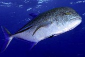 Caranx melampygus, bluefin trevally