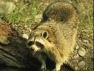 Szop pracz, Procyon lotor, raccoon