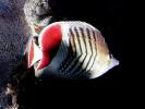 Chaetodon paucifasciatus, Eritrean Butterflyfish