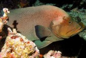 Aethaloperca rogaa, Granik, Redmouth Grouper