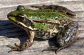 Żaba wodna, Rana esculenta, Edible Frog