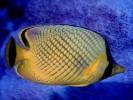 Chaetodon rafflesii, Latticed Butterflyfish