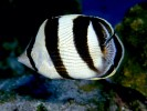 Chaetodon stratus, banded butterflyfish