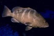 Epinephelus striatus, Nassau grouper