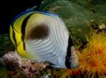 Chaetodon vagabundus, Vagabond Butterflyfish