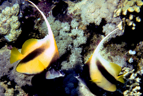 Heniochus acuminatus, Heniochus acuminatus, pennant coralfish, Red Sea bannerfish