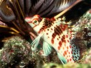 Cirrhitichthys falco, dwarf hawkfish