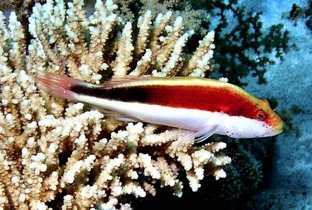 Paracirrhites forsteri, black-sided hawkfish