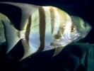Szpadelek karaibski, Chaetodipterus faber, Atlantic spadefish