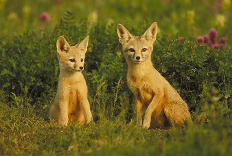 Lis pustynny, Fennecus zerda, Fennec Fox