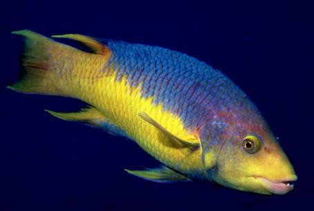 Bodian hiszpański, Bodianus rufus, Spanish hogfish
