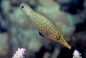 Oxymonacanthus longirostris, orange spotted filefish, harlequin filefish