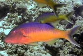 Parupeneus cyclostomus, Yellowsaddle goatfish