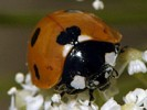 Biedronka siedmiokropka, Coccinella septempunctata, seven-spot ladybird