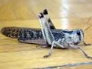 Szarańcza wędrowna, Locusta migratoria, migratory locust