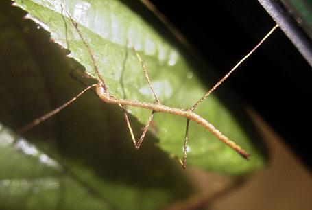 Chondrostethus woodfordii