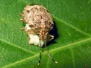 Knieżyca szara, Elasmucha grisea, parent bug
