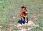Koń przewalskiego,Equus przewalskii,Przewalski\\'s Horse