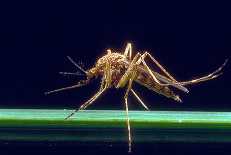 Komar brzęczący, Culex pipiens