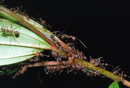 Mrówka prządka, Oecophylla longinoda