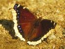 Rusałka żałobnik, Nymphalis antiopa