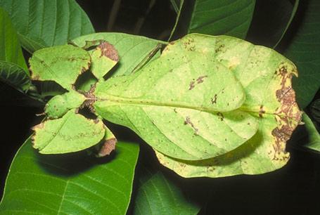Liściec olbrzymi, Phyllium giganteum