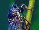Piewik gałązkowiec, Cicadetta montana