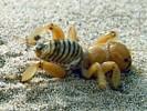 Stenopelmatus fuscus