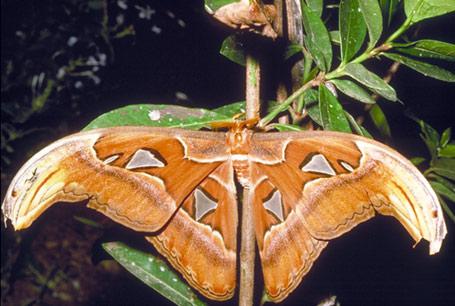 Pawica atlas, Attacus atlas
