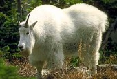 Kozioł śnieżny, Oreamnos americanus, Mountain Goat