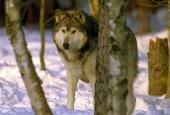 Wilk kanadyjski,Canis lupus occidentalis, Mackenzie Valley Wolf