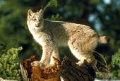 Ryś kanadyjski,Lynx canadensis,canadian lynx